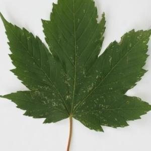 Photographie n°199728 du taxon Acer pseudoplatanus L.