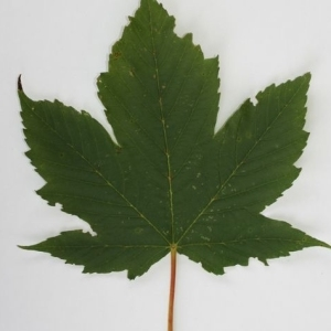 Photographie n°199729 du taxon Acer pseudoplatanus L.