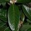 Pierre Bonnet - Eriobotrya japonica (Thunb.) Lindl. [1821]