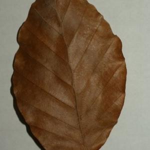 Photographie n°200391 du taxon Fagus sylvatica L.