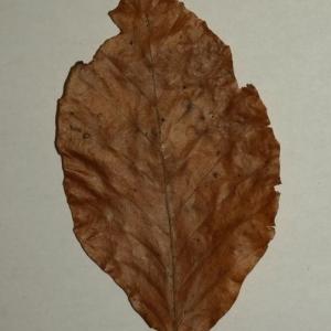 Photographie n°200392 du taxon Fagus sylvatica L.