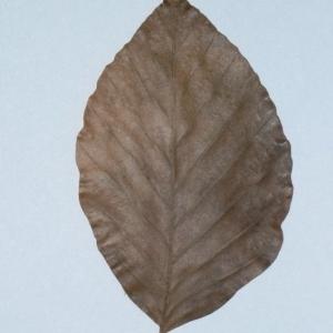 Photographie n°200393 du taxon Fagus sylvatica L.