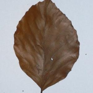 Photographie n°200395 du taxon Fagus sylvatica L.