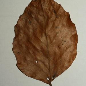 Photographie n°200398 du taxon Fagus sylvatica L.