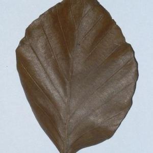 Photographie n°200399 du taxon Fagus sylvatica L.