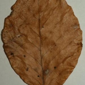 Photographie n°200400 du taxon Fagus sylvatica L.