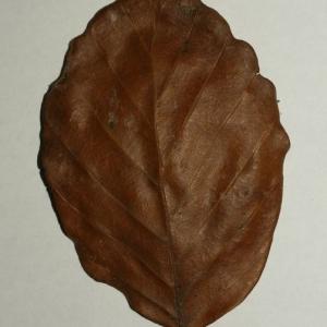 Photographie n°200401 du taxon Fagus sylvatica L.