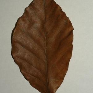 Photographie n°200402 du taxon Fagus sylvatica L.