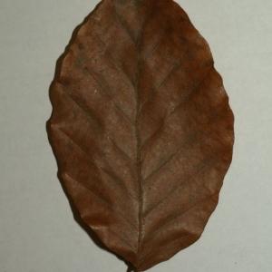 Photographie n°200403 du taxon Fagus sylvatica L.