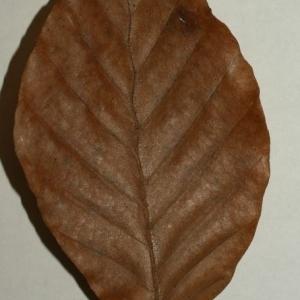 Photographie n°200404 du taxon Fagus sylvatica L.