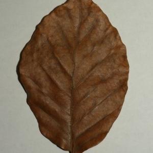Photographie n°200405 du taxon Fagus sylvatica L.