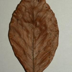 Photographie n°200406 du taxon Fagus sylvatica L.