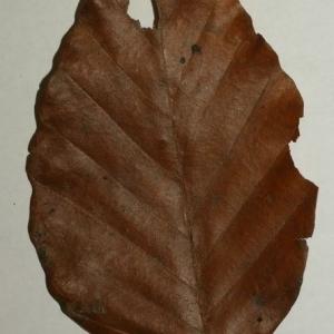 Photographie n°200408 du taxon Fagus sylvatica L.