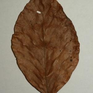 Photographie n°200409 du taxon Fagus sylvatica L.
