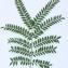 Pierre Bonnet - Gleditsia triacanthos L. [1753]