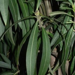 Photographie n°200841 du taxon Nerium oleander L. [1753]
