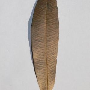 Photographie n°200843 du taxon Nerium oleander L. [1753]