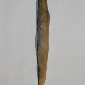 Photographie n°200844 du taxon Nerium oleander L. [1753]