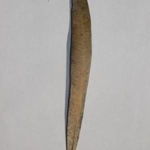 Photographie n°200848 du taxon Nerium oleander L. [1753]