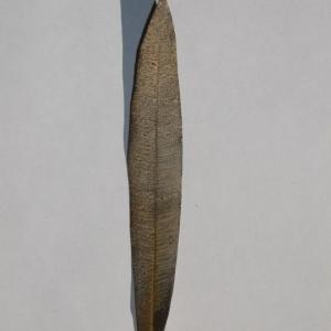 Photographie n°200849 du taxon Nerium oleander L. [1753]