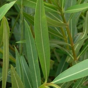 Photographie n°200857 du taxon Nerium oleander L. [1753]