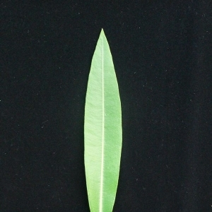 Photographie n°200859 du taxon Nerium oleander L. [1753]
