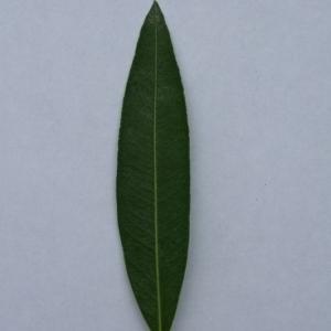 Photographie n°200870 du taxon Nerium oleander L. [1753]
