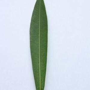 Photographie n°200872 du taxon Nerium oleander L. [1753]