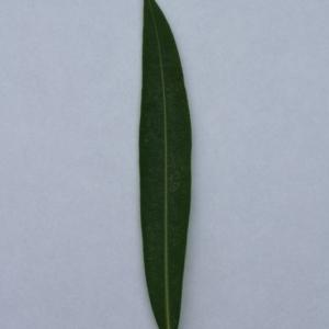 Photographie n°200877 du taxon Nerium oleander L. [1753]