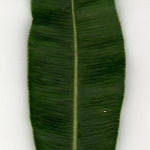 Photographie n°200879 du taxon Nerium oleander L. [1753]