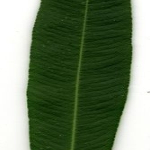 Photographie n°200880 du taxon Nerium oleander L. [1753]