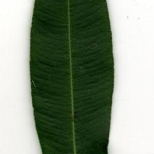 Photographie n°200881 du taxon Nerium oleander L. [1753]