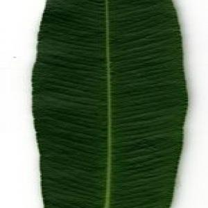 Photographie n°200882 du taxon Nerium oleander L. [1753]