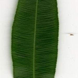Photographie n°200883 du taxon Nerium oleander L. [1753]