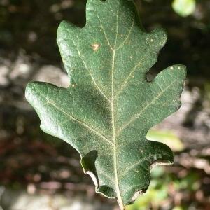 Photographie n°201305 du taxon Quercus pubescens Willd. [1805]