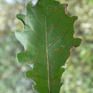 Photographie n°201307 du taxon Quercus pubescens Willd. [1805]