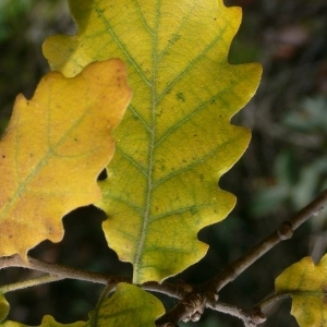 Photographie n°201308 du taxon Quercus pubescens Willd. [1805]