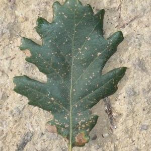 Photographie n°201310 du taxon Quercus pubescens Willd. [1805]