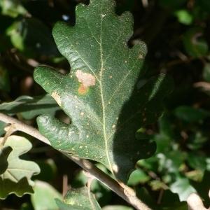 Photographie n°201312 du taxon Quercus pubescens Willd. [1805]