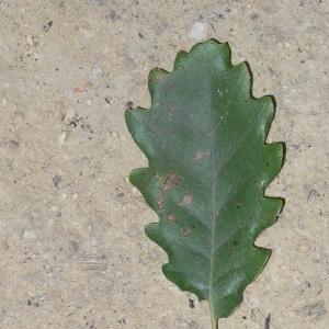 Photographie n°201318 du taxon Quercus pubescens Willd. [1805]