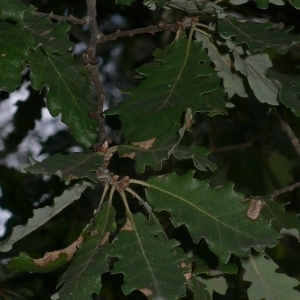 Photographie n°201319 du taxon Quercus pubescens Willd. [1805]