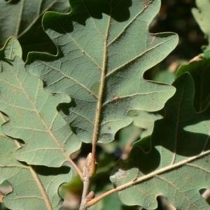 Photographie n°201320 du taxon Quercus pubescens Willd. [1805]
