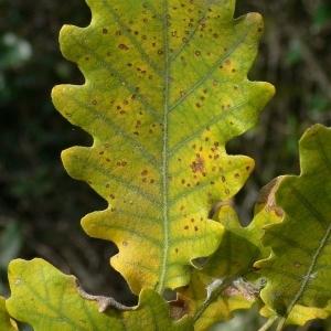 Photographie n°201321 du taxon Quercus pubescens Willd. [1805]