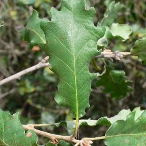 Photographie n°201322 du taxon Quercus pubescens Willd. [1805]