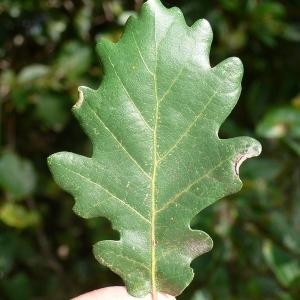 Photographie n°201323 du taxon Quercus pubescens Willd. [1805]