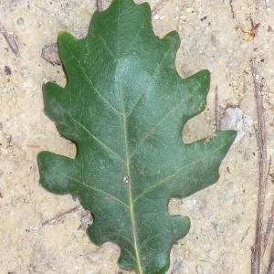 Photographie n°201324 du taxon Quercus pubescens Willd. [1805]