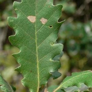 Photographie n°201327 du taxon Quercus pubescens Willd. [1805]