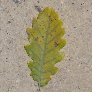 Photographie n°201329 du taxon Quercus pubescens Willd. [1805]
