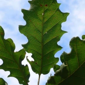 Photographie n°201332 du taxon Quercus pubescens Willd. [1805]