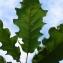 Pierre Bonnet - Quercus pubescens Willd. [1805]